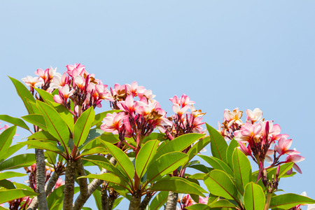 frangipani flowers photo