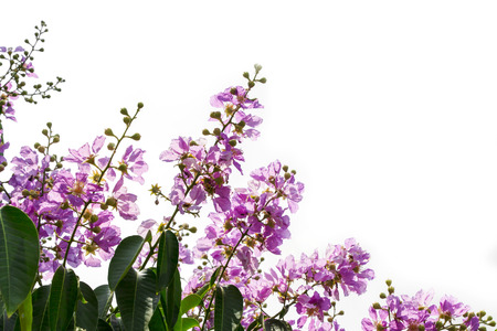 myrtle green: Inthanin, Queen s flower, Pride of India, Lagerstroemia macrocarpa Wall  middle large tree with beautiful purple flowers and hard shell brown seeds Stock Photo