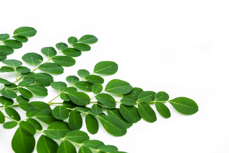 Moringa oleifera leaves isolated on white background Standard-Bild