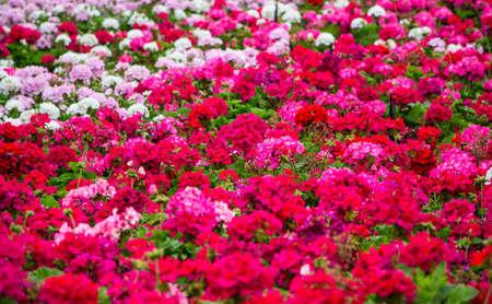 geranium flowers field