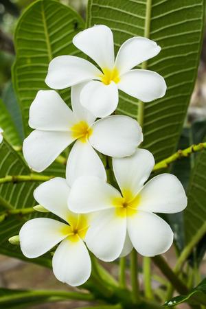 champa flower: Frangipani flowers with leaf Stock Photo