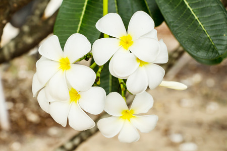 Frangipani flowers with leaf photo