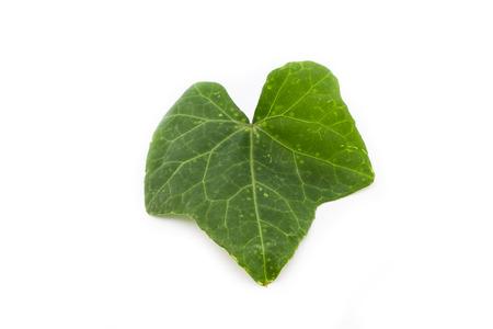 Ivy Gourd Leaf on a white  photo