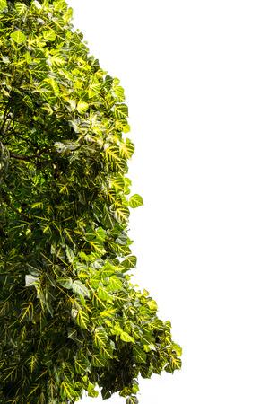 broad leaf: broad leaved