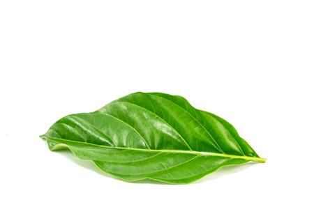 Morigue citrifolia blad Stockfoto - 87629579