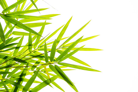 bamboo leafs photo
