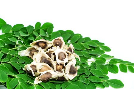 moringa seed with green leaf isolated on white background