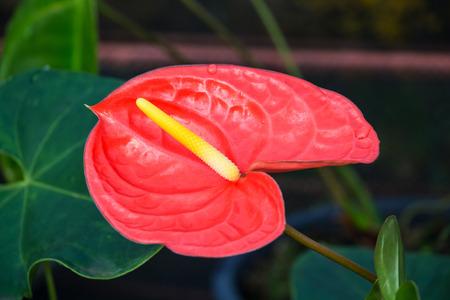 spadix: flamingo lily flower in the garden Stock Photo