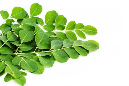 oleifera: moringa leave isolated on white background