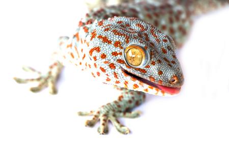 desert lizard: gecko