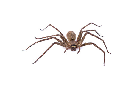 wolf spider: Spider on white background Stock Photo