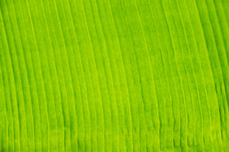 veining: banana green leave texture Stock Photo