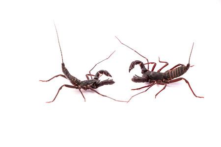 arachnophobia animal bite: whipscorpion