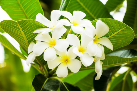 champa flower: leelawadee flowers