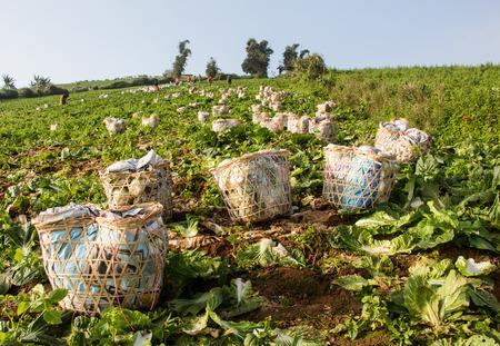 israel farming: cabbage garden