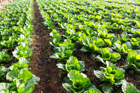 afield: Chinese cabbage