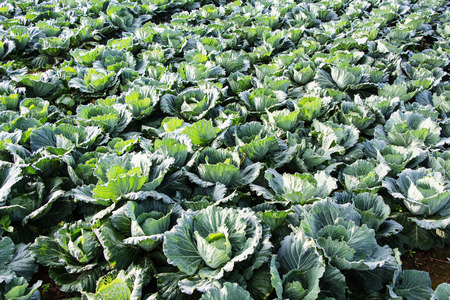 agricultural essence: cabbage