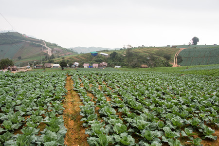 agricultural essence: cabbage field
