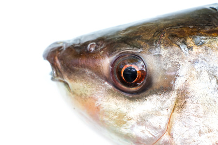 rutilus: Head fish close up