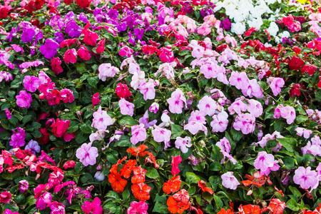 bicolored: impatians flowers