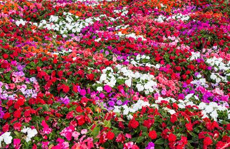 impatians flowers photo