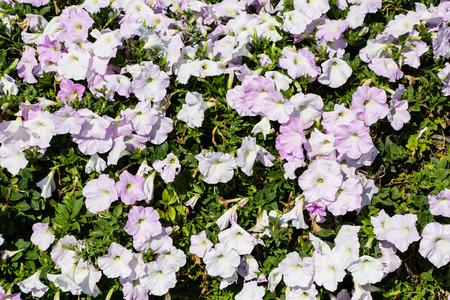 pink petunia flowers photo