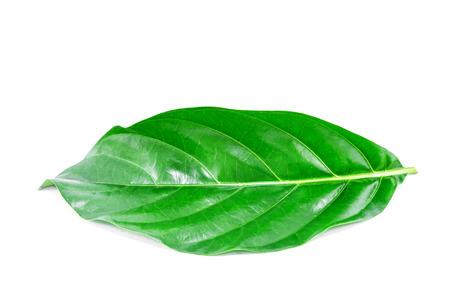 noni green leave on white background photo