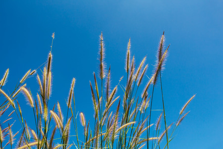 cane plumes: flower grass Stock Photo