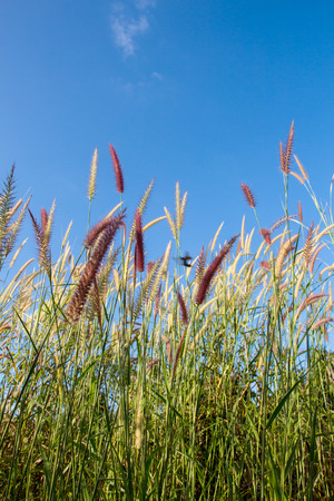 cane plumes: flowers grass