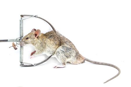 dead rat: rat dead with trap