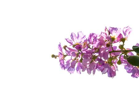 Queens flower photo