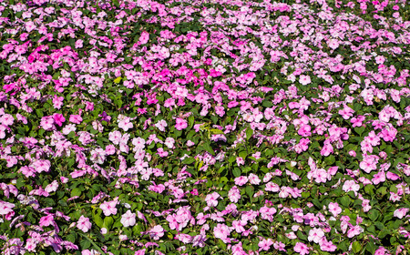 lizzie: Pink impatiens flowers Stock Photo