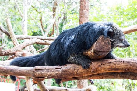 bearcat: binturong Stock Photo