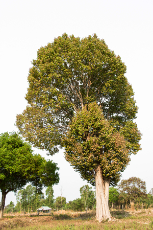 tropical evergreen forest: Tree
