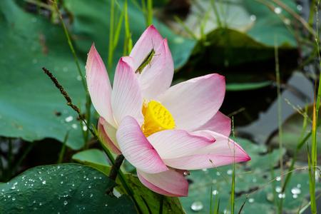 egyptian lily: lotus