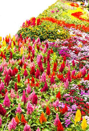 cockscomb: cockscomb flower Stock Photo
