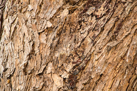 bark background: Bark tree