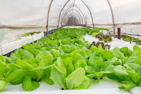 chinese spinach: hydroponic plant Stock Photo