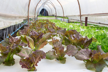 chinese spinach: hydroponic red oak