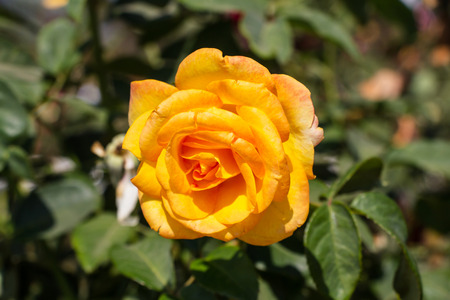 yellow: Yellow rose