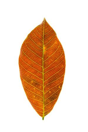 Yellow leaf on white Stock Photo