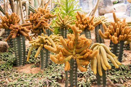 Riterocereus pruinosus cactus