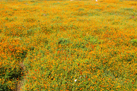 Yellow cosmos field
