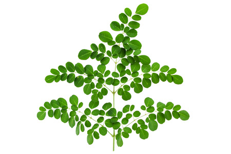 moringa leaf on white background Фото со стока