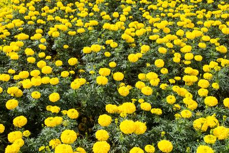 marigold flowers Фото со стока