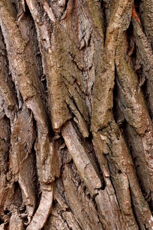 Closeup of texture structure background of a tree bark