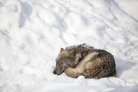wolf sleep on snow photo