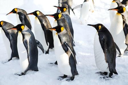 Emperor penguins walking on the snow at azahikawa