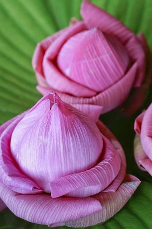 nelumbinis: Lotus flower close shot Stock Photo