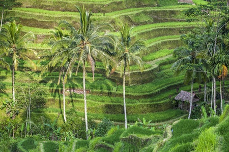 rice plant: terraced rice-fields step in Bali